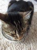 katt som ser ner Royaltyfria Bilder