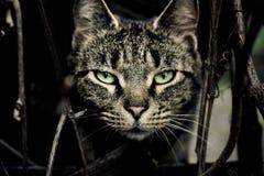 Katt som ser rak på dig Fotografering för Bildbyråer