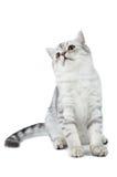 katt som ser upp den sittande tabbyen för skotsk silver Arkivbilder