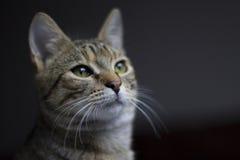 katt som ser upp tabbyen Royaltyfri Fotografi