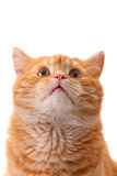 katt som ser upp överrrakning Arkivbilder