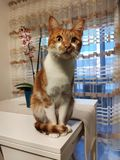 Katt som sitter i en tabell royaltyfria bilder