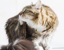 Katt som skrapar, brun vit siberian kattunge Royaltyfria Bilder