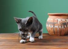 Katt som spelar med Arkivfoto