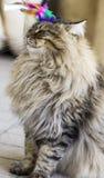 Katt som spelar med en fjäder Royaltyfria Bilder