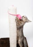 Katt som spelar med en rosa boll Royaltyfri Fotografi