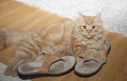 Katt som spelar med skor Fotografering för Bildbyråer