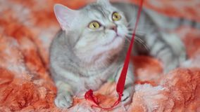 Katt som spelar på den röda soffan lager videofilmer