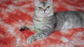 Katt som spelar på den röda soffan arkivfilmer