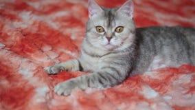 Katt som spelar på den röda soffan stock video