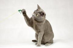 Katt som spelar på vit bakgrund Arkivbild