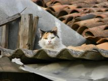 Katt som stirrar på kameran royaltyfria foton