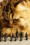 Katt som tänker av den nästa flyttningen Royaltyfria Bilder