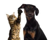 Katt som tafsar på ett hundöra Royaltyfri Fotografi