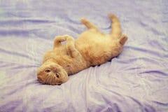 Katt som tillbaka ligger på henne på en filt Royaltyfri Bild
