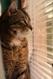 katt som ut ser fönstret Fotografering för Bildbyråer