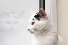 katt som ut ser fönstret Royaltyfri Fotografi