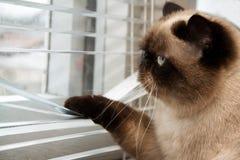 Katt som utanför ser till och med fönsterrullgardiner Fotografering för Bildbyråer
