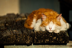 Katt som utomhus sovar Royaltyfri Fotografi