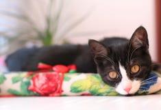 Katt som vilar på en pilow Arkivfoton