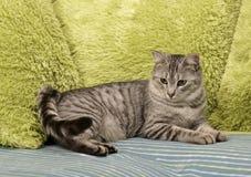 Katt som vilar upp katten på en soffa i färgrik suddighetsbakgrund, gulligt roligt kattslut, ung skämtsam katt på en säng, inhems Fotografering för Bildbyråer