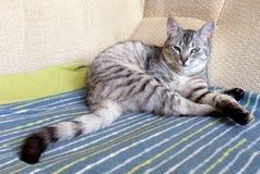 Katt som vilar upp katten på en soffa i färgrik suddighetsbakgrund, gulligt roligt kattslut, ung skämtsam katt på en säng, inhems Arkivbilder