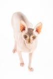 Katt Sphynx Arkivbilder