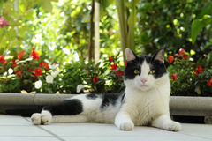 Katt - svartvit katt som ligger på en försiktig observation av omgivningen Royaltyfria Bilder
