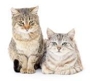 katt två Royaltyfria Bilder