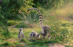 Katta обезьяны лемура Стоковое Изображение RF