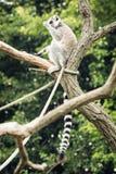 Katta, die auf dem Baumast, humorvolle Szene sitzt Lizenzfreies Stockfoto