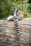 Katta, die auf dem Baumstamm sitzt Stockbild