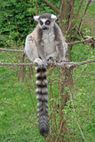 Katta, die auf einem Eingefangene einen Zoo sitzt Lizenzfreie Stockfotos