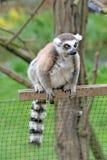 Katta, die auf einem Zaun in einem Zoo sitzt Lizenzfreie Stockfotografie