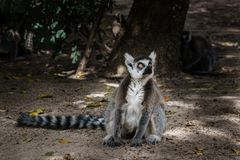 Katta, die aus den Grund im Zoo sitzt Stockfotos