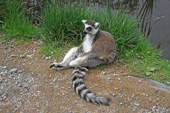 Katta, die nahe einem Teich in einem Zoo sitzt Lizenzfreies Stockfoto