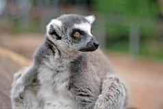 Katta in einem Zoo Lizenzfreie Stockbilder