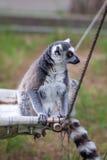 Katta im Tiflis-Zoo, die Welt von Tieren Stockbild