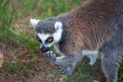 Katta im Tiflis-Zoo, die Welt von Tieren Stockfotografie