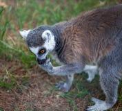 Katta im Tiflis-Zoo, die Welt von Tieren Lizenzfreies Stockbild
