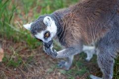 Katta im Tiflis-Zoo, die Welt von Tieren Lizenzfreie Stockfotos