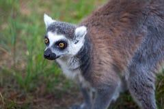 Katta im Tiflis-Zoo, die Welt von Tieren Lizenzfreies Stockfoto