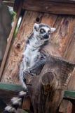 Katta im Tiflis-Zoo, die Welt von Tieren Stockfotos