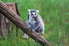 Katta im Tiflis-Zoo, die Welt von Tieren Lizenzfreie Stockbilder