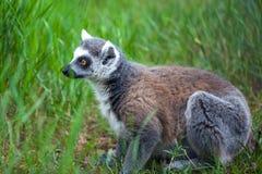 Katta im Tiflis-Zoo, die Welt von Tieren Stockfoto