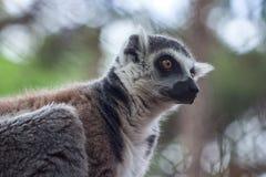 Katta im Tiflis-Zoo, die Welt von Tieren Stockbilder