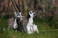 Katta Lemurs Imagem de Stock Royalty Free