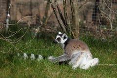 Katta Lemurs Foto de Stock Royalty Free