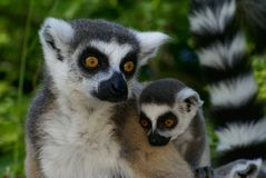 Katta lemurs. Mother and young born baby Stock Image