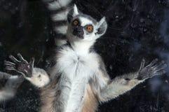 Katta (Maki Catta) hinter einem Glasvogelhauszoo Stockfotografie